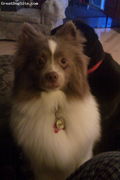 Pomimo, 16 months, brown/white, Lovable, vivicous, affectionate with tons of personality.