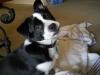 Pomston, 4 months, Black & White
