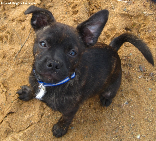 Pomston, 5 months, Brindle, Very Smart and energetic. Great with my five year old daughter and loves to play with other dogs and cats. Loves being around people and snuggling up with me or my daughter.