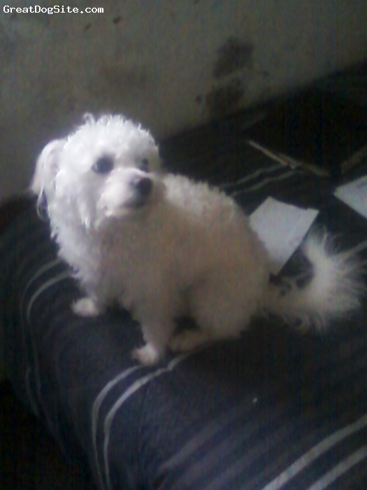 Poochis, 3, White, Little white dog. Half Poodle, half Chihuahua.