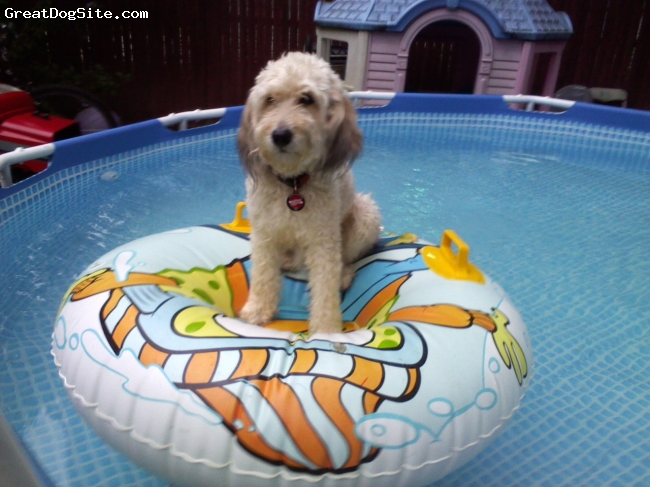 Poogle, 3 years, tan, Harley's mother (oof) a gray poodle and dad (jackson) a redish brown and white beagle.Harley is my little boy and loves to float around the pool. Not a better bread in the world.