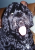 Portuguese Water Dog, 3, black