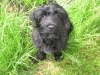 Portuguese Water Dog, 3 months, Black