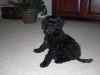 Portuguese Water Dog, puppy, Wavy Black