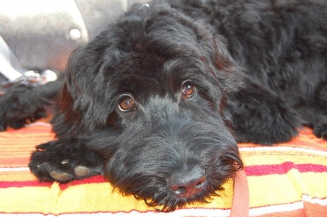 Portuguese Water Dog, 6 months, Black, Relaxing in the back of the car!