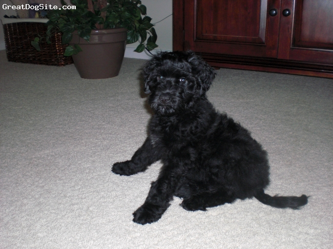 Portuguese Water Dog, puppy, Wavy Black, Some day, I'm going to be a star!