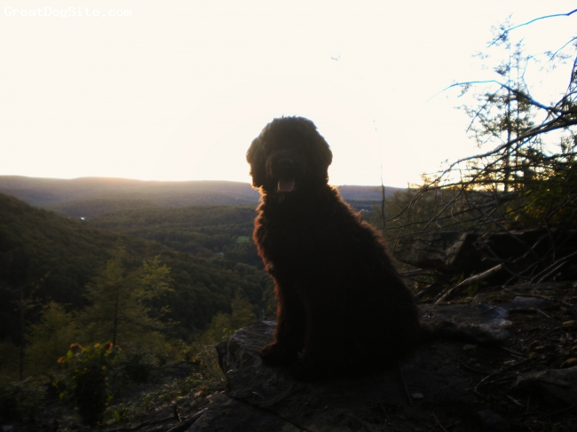 Portuguese Water Dog, 9 months, Black wavy, Love taking a walk and watching the sun set.