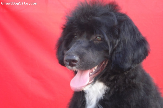 Portuguese Water Dog, 3 YEARS, bLACK, PWD Bitch bred at Grand-Lares kennels who is a great example of  correct breed type and expression .