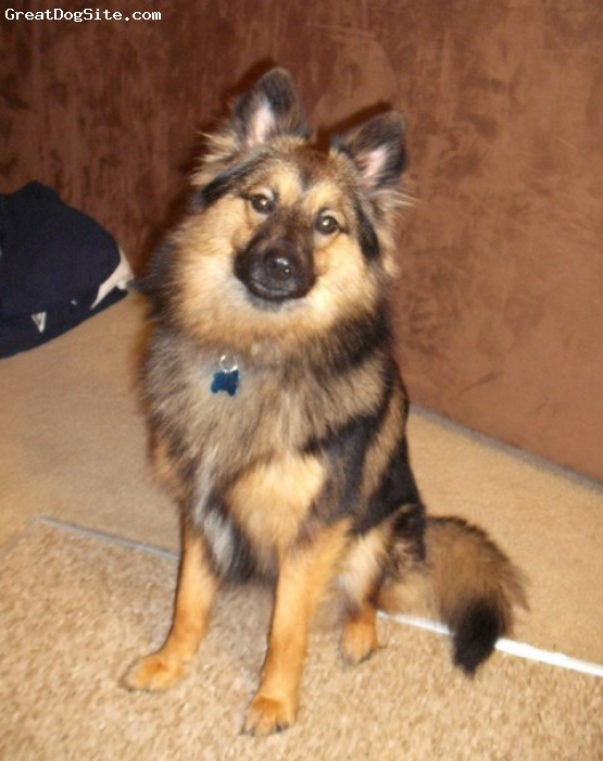 Poshies, 1 year, brown/black, Ty  is 1/2 Pom and 1/2 Sheltie. He weighs 20 lbs. He is very affectionate, and wants to be near me all the time,  unless one of his friends is around.