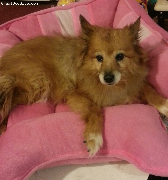 Poshies, 17, tri-color, Tosh is half Pomeranian and half sheltie! The best dog ever!
