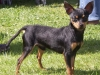 Prazsky Krysarik, 18 months, Homozygot Black and Tan