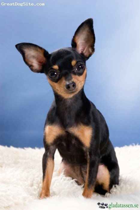 Prazsky Krysarik, 18 months, Black and Tan, Here is a beautiful ratter female, weight 3 lbs