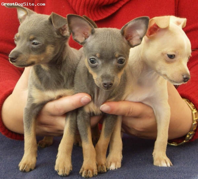 Prazsky Krysarik, 4 months, 2 Blue and Tan & 1 Yellow, Here are three beautiful Ratter pups.