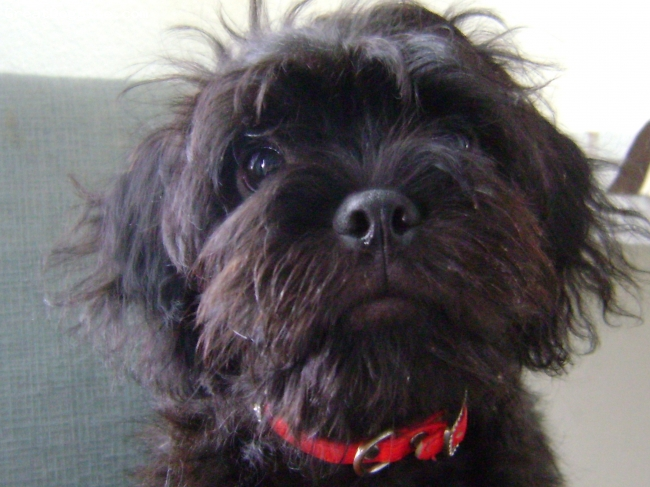 Pug-A-Poo, 1 year, black, Im a very active Pug a Poo. My mom is a miniature grey poodle & dad is a black pug.Im good with children ,obedient,extremely smart,good guardian & adjust well to small apartments. I weight 10 pounds
