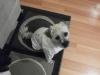 Pug-Coton, 18 months, Cream