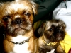 Pug-Zu, left 1yr right 5months, left red/brown right tan/black