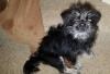Pug-Zu, 8 months, Black w/white-grey