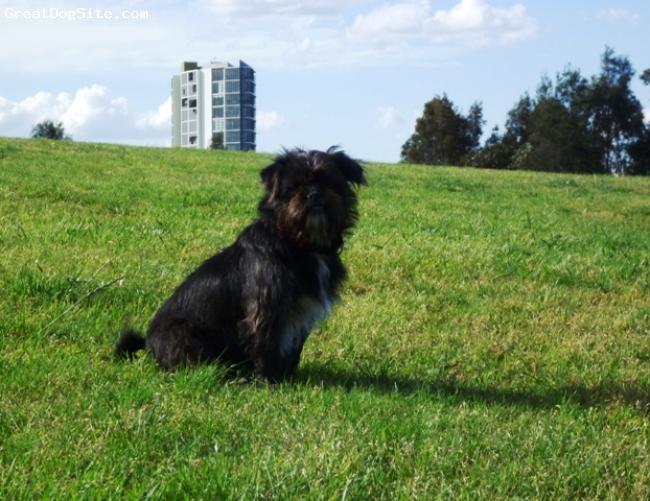 Pug-Zu, 1, Black & White, Active,  fun loving, stuborn, non agressive dog.