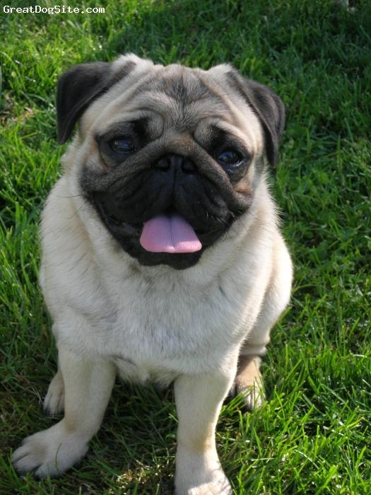 Pug, 1.5, Fawn, My Baby