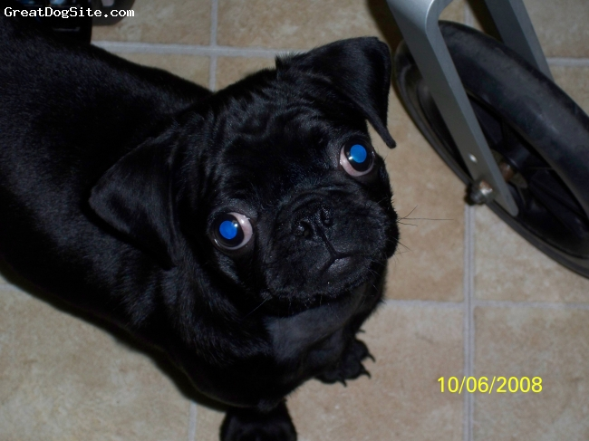 Pug, 12 months, black, yea, she's really that cute.