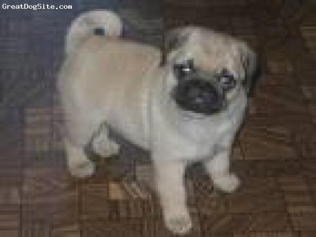 Pug, 4, white, cutie