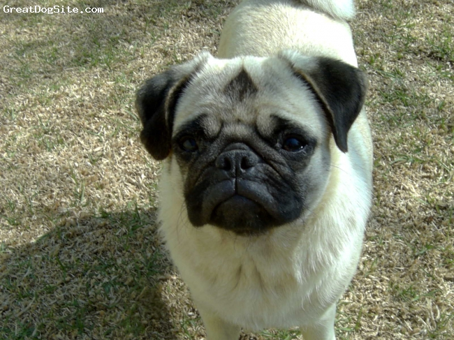 Pug, 2, fawn, her mommies baby!!