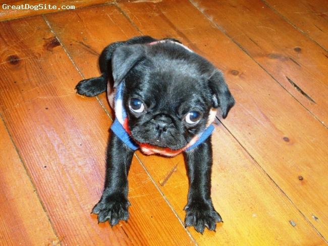 Pug, 1, black, mommy's boy!