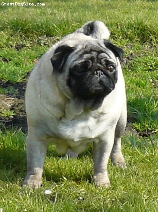 Pug, 6 years, fawn, Pug of kennel Plums´Jewel