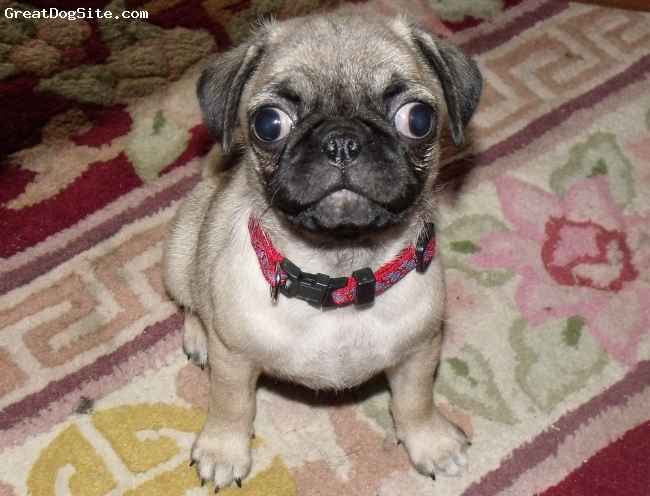 Pug, 9 weeks, Fawn, Momma's baby girl she is older now and her eyes have corrected I sure do miss them though lol she is just too cute