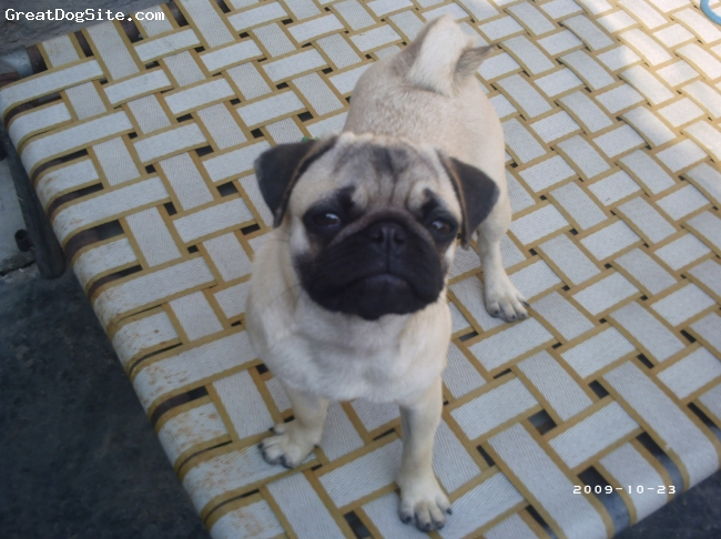 Pug, 6 months, Fawn, She is my little Darling.
