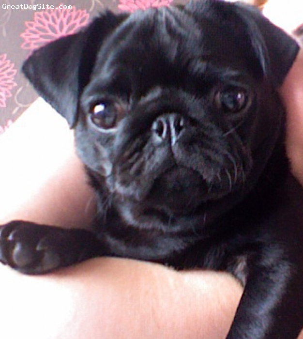 Pug, 10 Months, Black, Very loving, playful and sometimes naughty!! Wouldn't swap her for the world though!