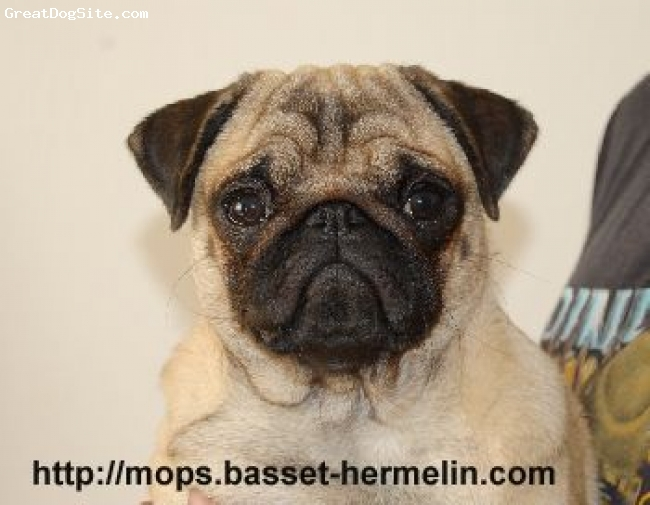 Pug, 2 months, bezova, PUG  kennel   QUEEN´S HERMELIN  from  Czech republic in Europe  sell puppies show quality, parents are champions.
