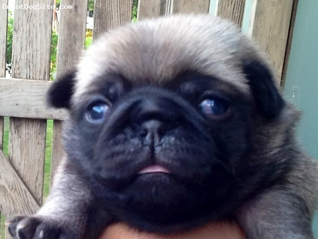Pug, 2 weeks, Fawn, Daughter of  Wednesday and Harvey, two fawn pugs from Hawaii