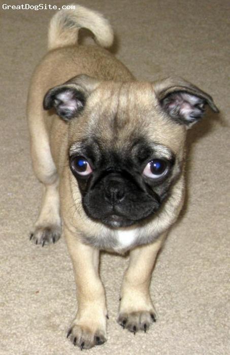 Pug, 1, tan fawn, cute and nice