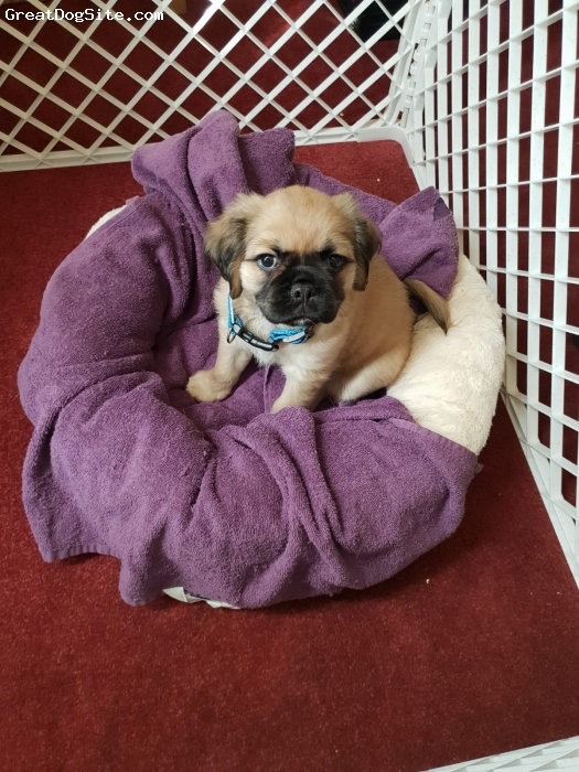 Pug, 3 months, fawn, 8 weeks old pug x cavalier , he is a really smart puppy , already knows sit. , lay down , paw and stay . Only issue so far is that he does love to bite our hands , but slowly calming down with that  .