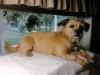 Pugairn, 5 years, Fawn
