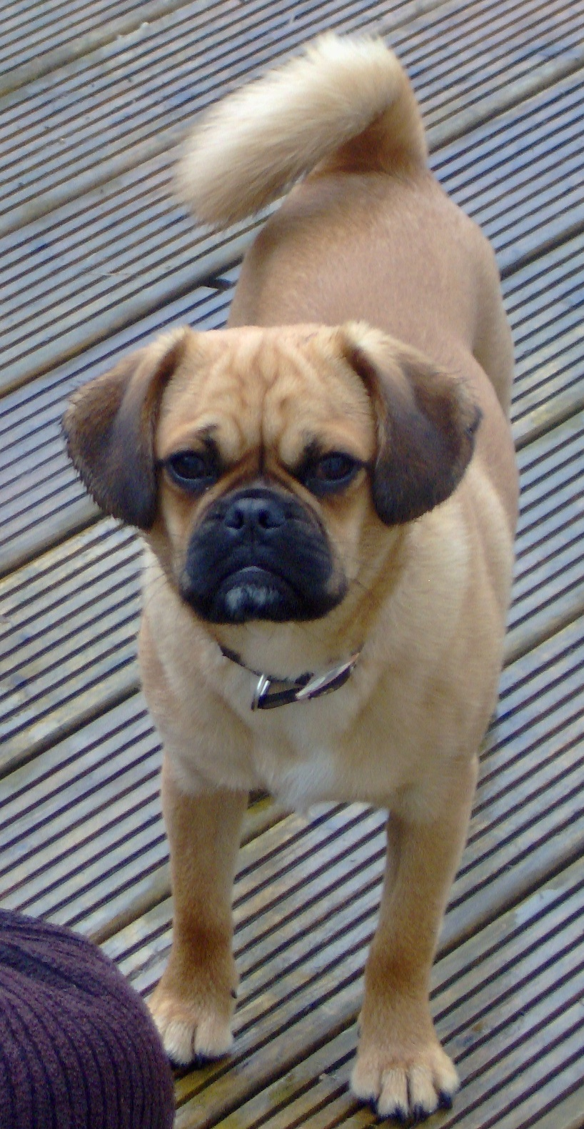 Pugalier Information, Pictures, Reviews and Q&A | GreatDogSite.com