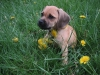 Puggle, not specified, cream
