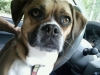 Puggle, 3, Brown/White/Black