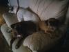 Puggle, 3, fawn