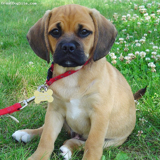 Puggle, not specified, cream, little guy