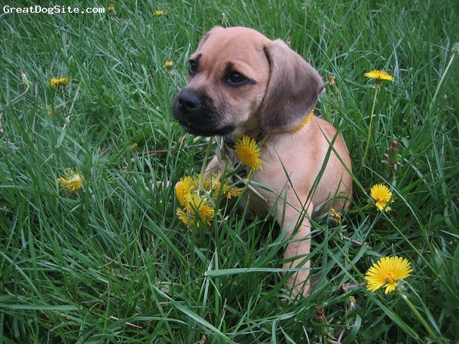 Puggle, not specified, cream, very young