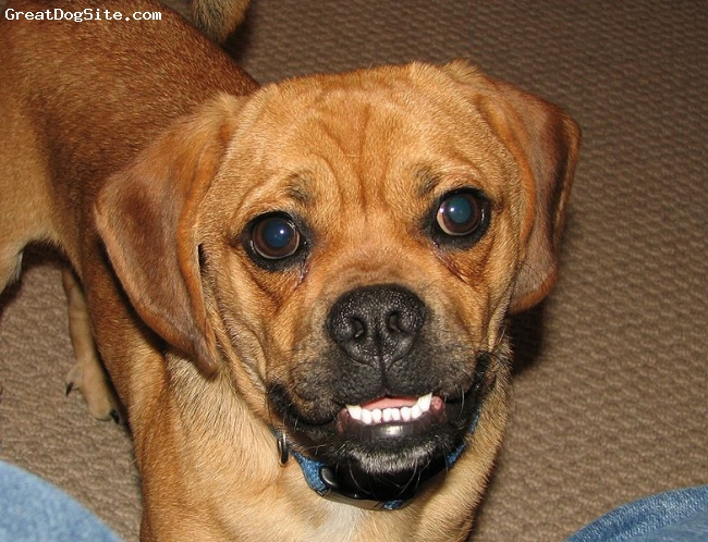 Puggle, Not Specified, cream, chompers