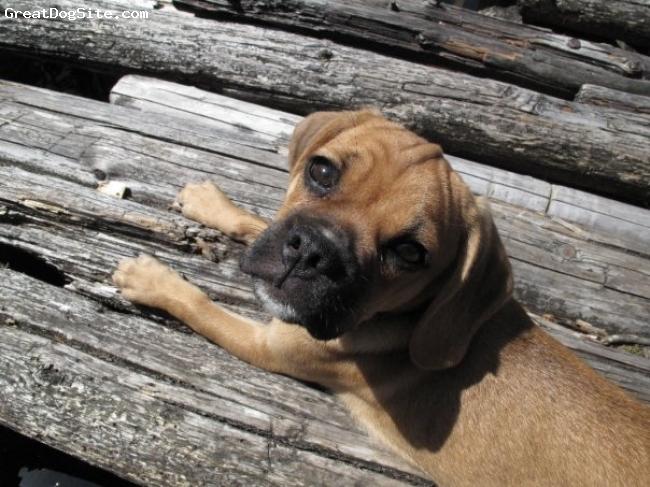 Puggle, 6 months, tan, Koka lounging on the dock