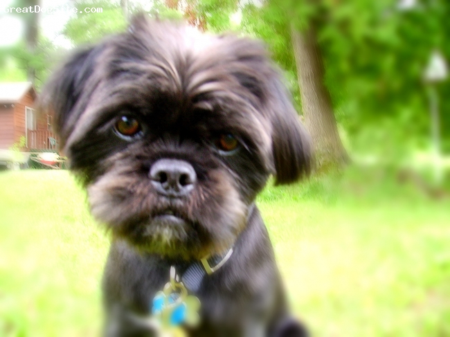 Pughasa, 10 months, Black with white accents, Kosta is the perfect hybrid dog. Half Pug, half Lhasa Apso....a Pughasa.  They are easy to train, and sooo darn cute!