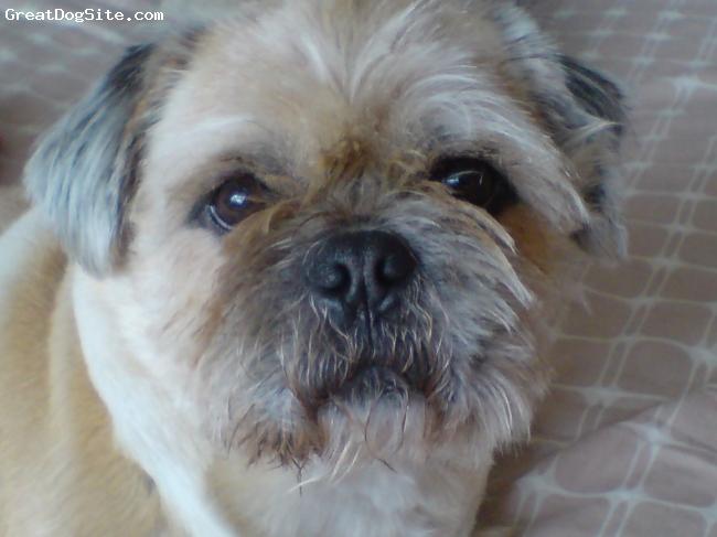 Pughasa, 5, fawn, 5 yrs old pug x lhasa wonderful friendly and loyal, good little guard dog