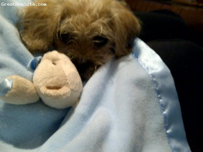 Pughasa, 5 months, Tan, Cheeky little bugger.