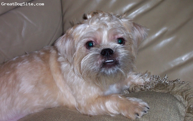 Pughasa, 1 year, Fawn, Daughter of a black and white female Lhasa Apso and a fawn pug male pug from Hawaii, she is gorgeous!
