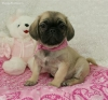 Puginese, 8 weeks, fawn