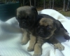 Puginese, 6 Weeks, Fawn with dark highlites